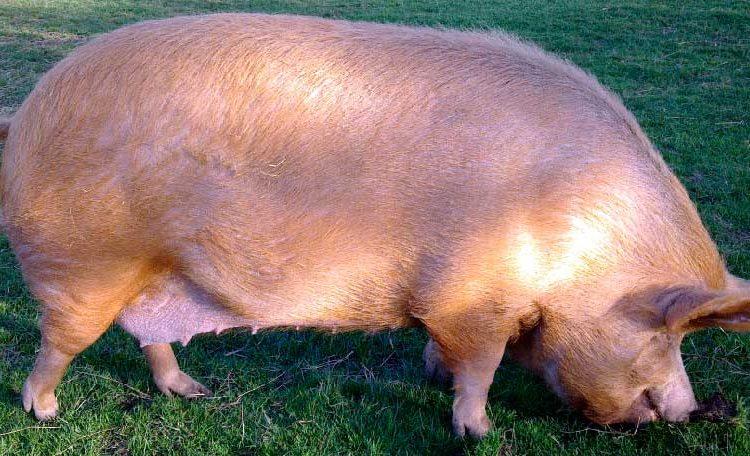 Особенности сальных и мясных пород свиней