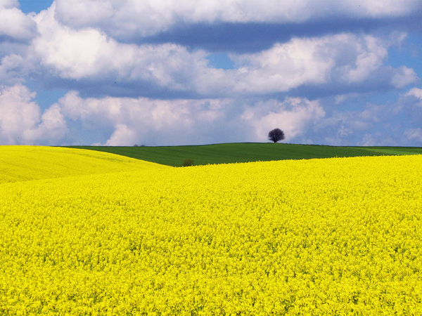 АПГ «Пан Курчак» покупает будущий урожай рапса