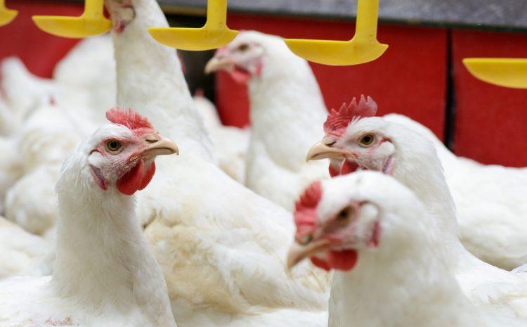 Najdroższe, najrzadsze, najsmaczniejsze kurczaki świata