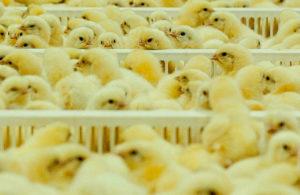 ПАН КУРЧАК інкубація яєць