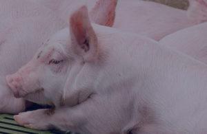ПАН КУРЧАК вирощування свиней